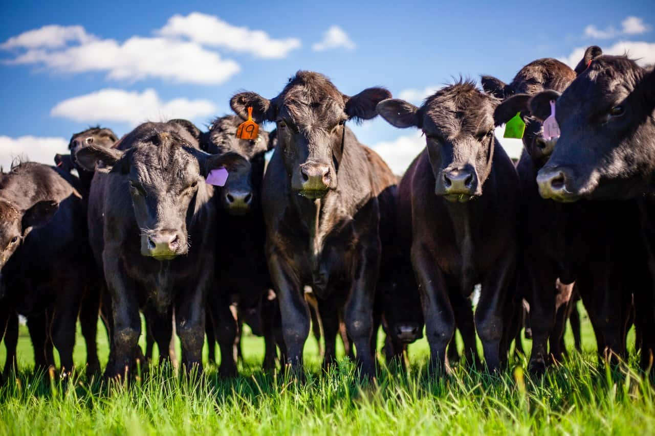 Tips on Bulk Buying Beef from KS Rancher